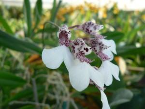 Orquídea Rodriguezia
