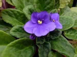 Violeta Africana (Saintpaulia ionantha Wendl.)