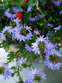 Flor canhota - scaevola em vaso
