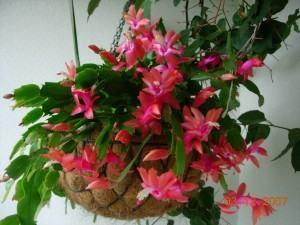 flor-de-maio cacto
