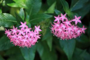 Penta (Penta lanceolata) florida