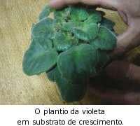 violeta plantio