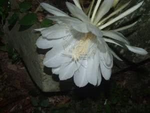 dama da noite flor