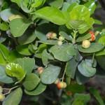 Evônimo do Japão (Euonymus japonica)