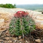Cacto Cabeça de Frade (Melocactus zehntneri)