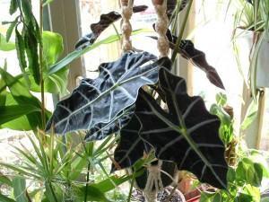 Alocasia amazonica (Alocasia amazonica)