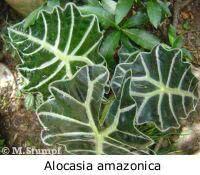 alocasia_amazonica_peq