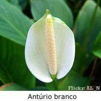 anturio_flor_branca