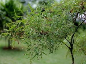 Árvore da felicidade femea (Polyscias fruticosa)