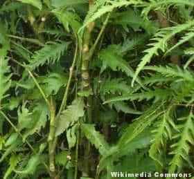 Árvore da felicidade femea