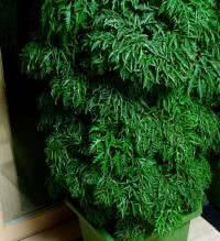 Árvore da felicidade femea em vaso