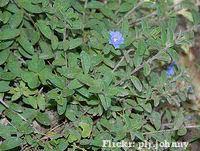 Azulzinha (Evolvulus glomeratus)  forracao ll