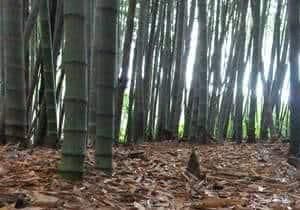Bambu Mossô (Phylostachys Pubescens) - floresta