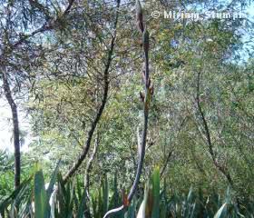 Bambu Mossô (Phylostachys Pubescens)