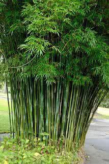 Jardim Oriental - bambusa gracilis