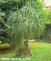 beaucarnea-jardim
