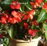 begonia-hibrida