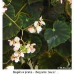 Begônia preta (Begonia boveri)
