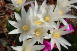 Cacto da primavera (Rhipsalidopsis)  branco