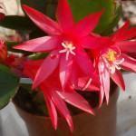 Cacto da primavera (Rhipsalidopsis)