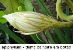 Suculentas famílias botânicas -cacto dama da noite botao