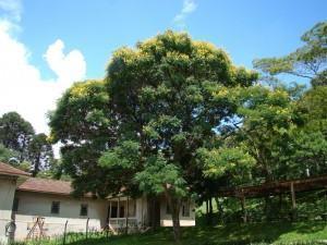 sibipiruna Caesalpinia pluviosa