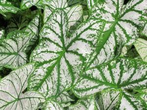 Tinhorão ou caládio (Caladium)