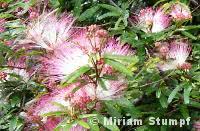 caliandra-rosa-close