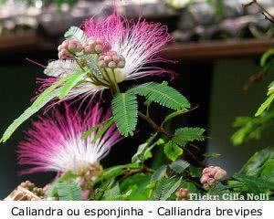 caliandra