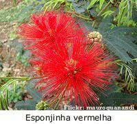 maciços no jardim caliandra vermelha