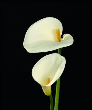 Copo-de-leite (Zantedeschia)