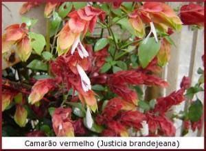 Camarão vermelho (Justicia brandejeana)