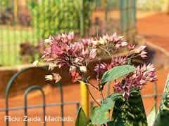 feng shui e clerodendro