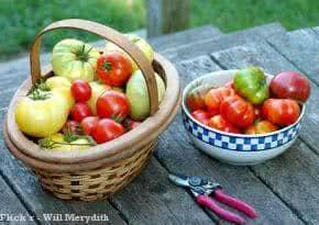 colheita_tomate