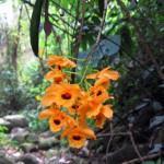 Orquídea Olho-de-boneca  (Dendrobium Fimbriatum)