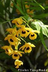 Orquídea Olho-de-boneca dendrobium_fimbriatum
