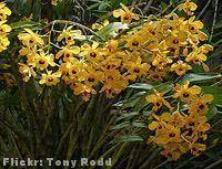 Orquídea Olho-de-boneca dendrobium fimbriatum
