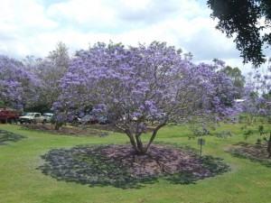 Jacarandá ( Jacaranda mimosifolia )