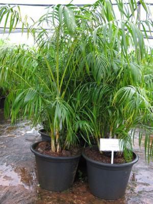 Plantas de interior que filtram o ar - areca