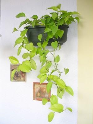 Jibóia (Epipremnum pinnatum) - plantas no vaso