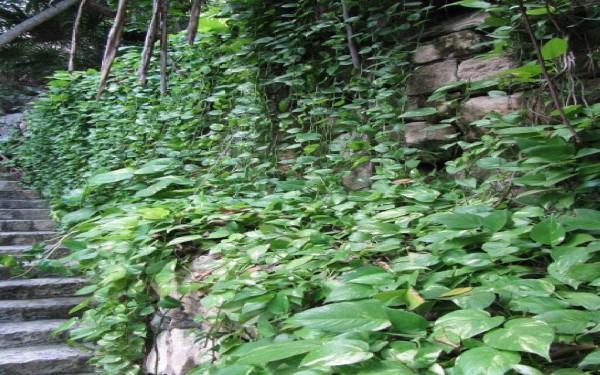 Plantas de interior - Epipremnum aureus (Scindapsus aureus)