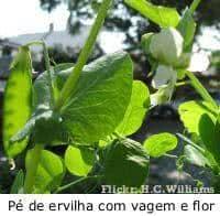 Ervilha (Pisum sativum)