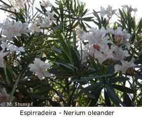 Espirradeira (Nerium Oleander)