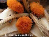 estrelitzia-sementes