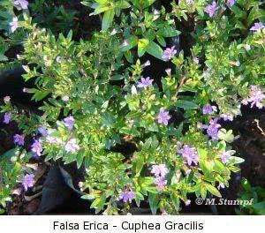 Como plantar sua forração - falsa erica