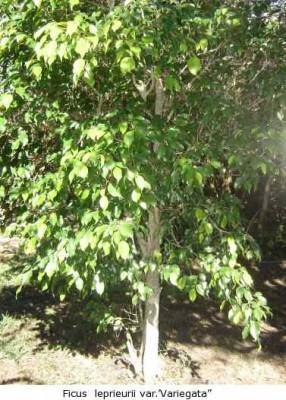 Ficos (Ficus  leprieurii var.)