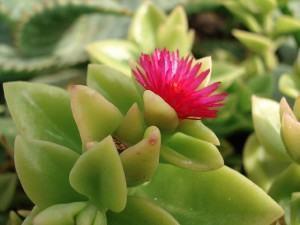 Suculentas: Famílias Botânicas, Como Encontrar