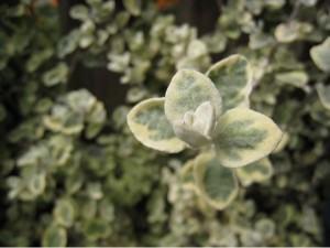 Helicriso (Helichrysum petiolare)