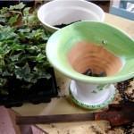 Hera – plantio em vaso!