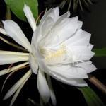 Cacto Rainha da noite (Hylocereus undatus)